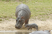 Hippopotamus (Hippopotamus amphibius). Newborn hippo coming out of the water. Kruger N.P. South Africa