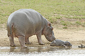 Hippopotamus (Hippopotamus amphibius). Newborn hippopotamus and his mother. Kruger N.P. South Africa