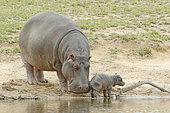 Hippopotamus (Hippopotamus amphibius). Female Hippopotamus stimulating her newborn baby to get up and walk. Kruger N.P. South Africa