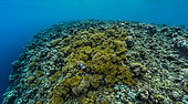 Tara Pacific expedition - november 2017 Banban and Muli Islets, Papua New Guinea, Fore Reef, partly bleached, new colonies of Leather Coral (Sinularia sp), D: 2 m