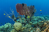 Tara Pacific expedition - november 2017 North Ema Reef, Kimbe Bay papua New Guinea, Giant Sea Fan, Gorgonian Fan Coral (Annella mollis, Syn Subergorgia mollis), Feather Stars, invertebrate filter feeders who need strong water flow, settle on the vanishing Gorgonian fan. D: 10 m