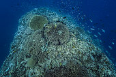 "Tara Pacific expedition - november 2017 Outer reef, Banban and Muli Islets, Papua New Guinea, Reef ""finger"" (deep Fore Reef), intact and dead table coral side by side, D: 15 m"