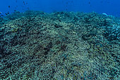 Tara Pacific expedition - november 2017 South Ema Reef in Kimbe Bay, Papua New Guinea, dead area of reef crest, D: 10 m