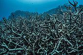 Expédition Tara Pacific - novembre 2017 Récif sans nom au nord-est de la baie Kimbe, Papouasie-Nouvelle-Guinée, récif mort (coraux cornus), P: 10 m