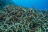 Tara Pacific expedition - november 2017 Unnamed reef in North-East Kimbe Bay, Papua New Guinea, dead reef (Staghorn corals), D: 9 m