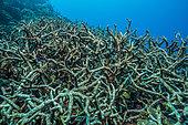 Expédition Tara Pacific - novembre 2017 Récif sans nom au nord-est de la baie Kimbe, Papouasie-Nouvelle-Guinée, récif mort (coraux cornus), P: 9 m