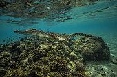 Expédition Tara Pacific - novembre 2017 Crocodile marin (Crocodylus porosus) sur un petit récif, près de l'île de Garua, baie de Kimbe, Papouasie-Nouvelle-Guinée,