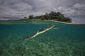 Expédition Tara Pacific - novembre 2017 Crocodile marin (Crocodylus porosus) plongeant près de l'île de Garua, baie de Kimbe, Papouasie-Nouvelle-Guinée