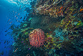 Tara Pacific expedition - november 2017 Fore reef zone (wall) Barrel sponge (Xestospongia testudinaria) stitched image 12000 x 8300 px, D: 12 m, Reef wall off Suba Suba Island, 1,9 km west of bubble site Normanby, Papua New Guinea