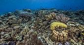 Expédition Tara Pacific - novembre 2017 Platier, Assemblage panoramique 10000 x 5500 px, P: 3 m, récif au large de l'île de Suba Suba, 1,9 km à l'ouest du Site du Bubble Reef, Normanby, Papouasie-Nouvelle-Guinée
