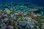 Expédition Tara Pacific - novembre 2017 Murène javanaise (Gymnothorax javanicus), P: 17 m Récif extérieur de l'atoll d'Egum, près de l'île de Yanaba, Papouasie-Nouvelle-Guinée