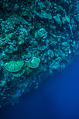 """Tara Pacific expedition - november 2017 Wall drop-off, downward view, Outer reef of unnamed """"Islet"""", 8 km north of Yanaba Island Reef, D: 20 m, Papua New Guinea"""