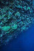 """Expédition Tara Pacific - novembre 2017 Vue en plongée du tombant, Récif extérieur d'un """"îlot"""" sans nom, à 8 km au nord de l'île de Yanaba D: 20 m, Papouasie-Nouvelle-Guinée"""