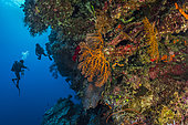Tara Pacific expedition - november 2017 Gorgonian fans (Alcyonacea); left: scientific divers Emilie Boissin (CRIOBE/CNRS) and Jonathan Lancelot (Tara) investigating the reef, D: 22 m Outer reef wall, Banban and Muli Islets, Papua New Guinea