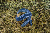 Tara Pacific expedition - november 2017 Blue starfish (Linckia laevigata), Up to 40 centimeters across, They invert their stomachs and begin to digest their food (dead animals, small invertebrates, detritus) externally, Reef Flat zone, D: 2 m, Banban and Muli Islets, Papua New Guinea