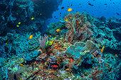 Tara Pacific expedition - november 2017 Golden Damselfish (Amblyglyphidodon aureus), sponges, Gorgonians, whip corals, D: 34 m South Ema Reef in Kimbe Bay, Papua New Guinea