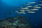 Tara Pacific expedition - november 2017 Blackfin Barracudas (Sphyraena qenie, Syn Chevron Barrakudas, Blacktail Barracuda) The reef slopes downward from its twin summits to a lip at about 27 m, after which the drop is vertical. P: 27 m Bradford Shoal seamount, Kimbe Bay, Papua New Guinea