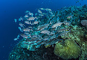 Tara Pacific expedition - november 2017 Shool of bigeye trevallies (Caranx sexfasciatus). The reef slopes downward from its twin summits to a lip at about 27 m, after which the drop is vertical, D: 27 m Bradford Shoal seamount, Kimbe Bay, Papua New Guinea