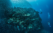 Tara Pacific expedition - november 2017 Swarm of Commerson's anchovies (Stolephorus commersonnii), Divers: (r) Miriam Giru, dive guide / Walindi Plant. and Jörn auf dem Kampe, GEO staff writer & editor, D: 20 m Joelle's Reef, Kimbe Bay Deep fore reef, Papua New Guinea