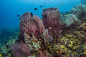 Tara Pacific expedition - november 2017 Barrel sponges (Xestospongia testudinaria), Red Sea Whip Corals (Ellisella ceratophyta), Northeast Kimbe Bay reef, D: 12 m, Papua New Guinea