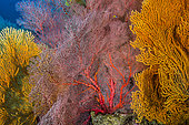 Tara Pacific expedition - november 2017 Gorgonian sea fans (red: Melithaea sp), Northeast Kimbe Bay reef, D: 12 m, papua New Guinea