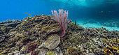 Tara Pacific expedition - november 2017 Back Reef with small lagoon, red sea fan (Melithaea sp), Restorf Island, Kimbe Bay, papua New Guinea, D: 1 m, stitched panorama 10534 x 4906 px