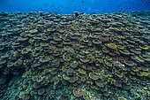 Tara Pacific expedition - november 2017 Oto Reef or Otto's Point Pristine fore reef Branching Coral Zone, D: 5 m, papua New Guinea