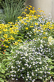 Massif composed of Rudbeckia and Aster, summer, Moselle, France