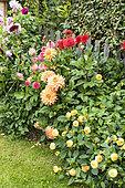Massif of Dahlia in bloom in a garden, summer, Pas de Calais, France