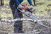 Slaughter and pruning of a birch in winter, Moselle, France