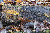 Decaying oak trunk in winter, Moselle, France