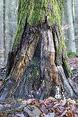 Dead oak trunk decaying in winter, Moselle, France
