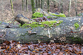 Decaying beech tree trunk, winter, Moselle, France