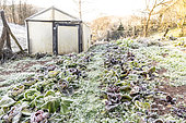 Frozen salad in a kitchen garden in winter, Moselle, France