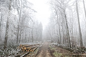 Frosted trees on a forest path in winter, Moselle, France