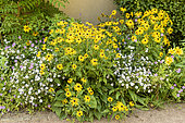 Massif composed of Rudbeckia, Aster and Potentilla, summer, Moselle, France