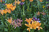 Massif of lily in bloom in a garden, summer, Moselle, France