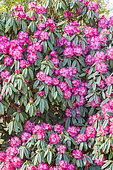 Rhododendron arboreum 'Blood Red'