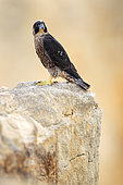 Peregrine falcon (Falco peregrinus) juvenile posted at the top of an extraction quarry, Normandy, France