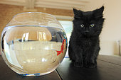 Young black domestic cat on a table watching a goldfish in his jar