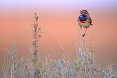 Bluethroat (Luscinia svecica) male perched on his singing post