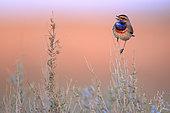 Bluethroat (Luscinia svecica) male perched on his singing post