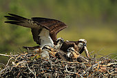Osprey (Pandion haliaetus) couple on his nest with two chicks, an adult brings a fish
