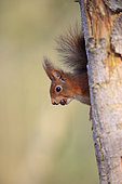 Red squirrel (Sciurus vulgaris) emerging from a tree trunk with a hazelnut between the teeth