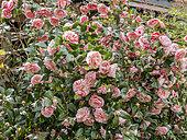 Camellia 'Clotilde' in bloom in a garden