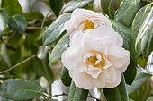 Camellia 'Virgin's Blush' in bloom in a garden