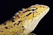 Oriental garden lizard (Calotes versicolor)