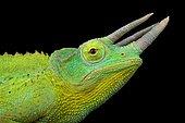 Yellow-crested Jackson's chameleon (Trioceros jacksonii xantholopus)