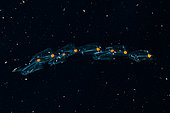 Expédition Tara Océans - Mai 2011. Agrégation de salpes contenant de petites crevettes (symbiose?). Une salpe est un tunicier planctonique en forme de tonneau. Il se déplace en se contractant, pompant ainsi l'eau à travers son corps gélatineux. La salpe force l'eau pompée à travers ses filtres d'alimentation internes, se nourrissant de phytoplancton. Les salpes sont communes dans les mers équatoriales, tempérées et froides, où ils peuvent être vus à la surface, seules ou en longues colonies filandreuses. Les concentrations de salpes les plus abondantes se trouvent dans l'océan Austral (près de l'Antarctique). Ici, ellels forment parfois d'énormes essaims, souvent en eaux profondes, et sont parfois même plus abondants que le krill. Au cours du siècle dernier, alors que les populations de krill dans l'océan Austral ont diminué, les populations de salpes semblent être en augmentation. La chaîne de salpes est la partie globale du cycle de vie. Les individus agrégés sont également appelés blastozoïdes; ils restent attachés ensemble tout en nageant et en se nourrissant, et chaque individu grandit. Chaque blastozoïde de la chaîne se reproduit sexuellement (les blastozoïdes sont des hermaphrodites séquentiels, qui commencent à mûrir en tant que femelles et sont fécondés par des gamètes mâles produites par des chaînes plus anciennes), avec un embryon en croissance attaché à la paroi corporelle du parent. Les oozoïdes en croissance sont finalement libérés par les blastozoïdes parents, puis ils continuent à se nourrir et à grandir au cours de la phase asexuée solitaire, clôturant ainsi le cycle de vie des salpes.