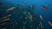 Expédition Tara Océans - Mai 2011. Banc de Poisson-créole (Paranthias colonus) et de Bécune pélican (Sphyraena idiastes), Wolf Island, Darwin Island, Galapagos